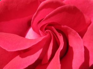 Lasting Love Rose